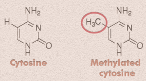 Cytosine, with and without the methyl groups that affect gene activity