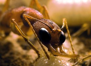 Harpegnathos worker ant tending to larva. Photo: Jürgen Liebig/ASU