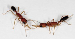Harpegnathos worker ants interacting. Photo: Jürgen Liebig/ASU