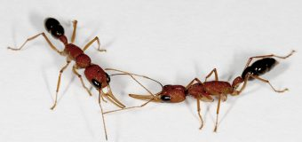 The smelly side of ant social life