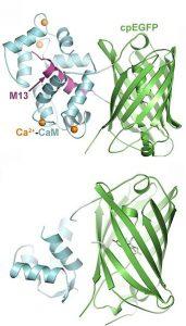 Calcium indicators can indicate cellular activity.