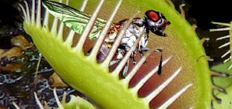 Why Venus flytraps don't lunch on their pollinators