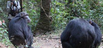 Chimp calls and human language origins