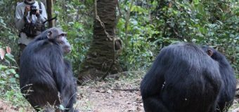 Chimp calls and human language origins