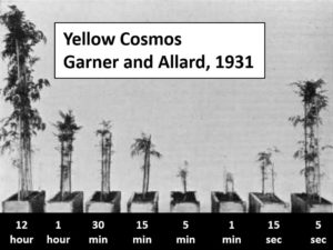 A 1931 study by Garner and Allard tracked the growth of Yellow Cosmos flowers under light pulses of various durations. J