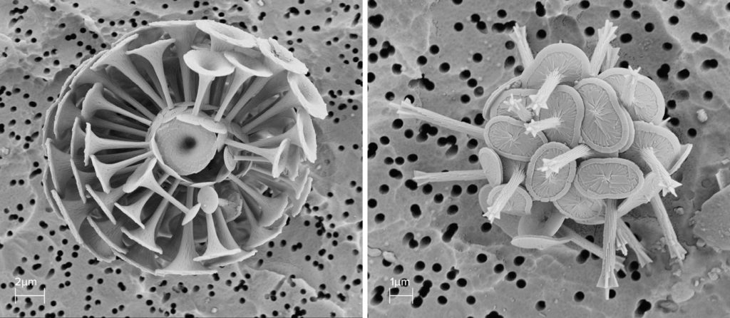 Rhabdosphaera clavigera, a coccolithophore with trumpet-like protrusions