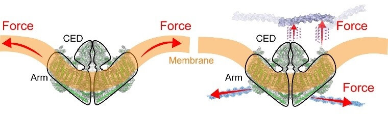 Proposed mechanisms of action of Piezo1 in response to force.