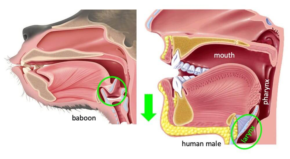 The vocal tract of a baboon has the same components – including the larynx, circled in green – as that of a person, but with different proportions.