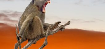 Study of primate vowel sounds pushes speech evolution back 27 million years