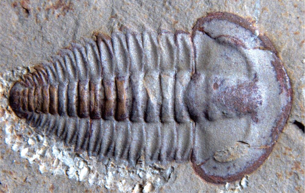Yunnanocephalus yunnanensis, one kind of trilobite