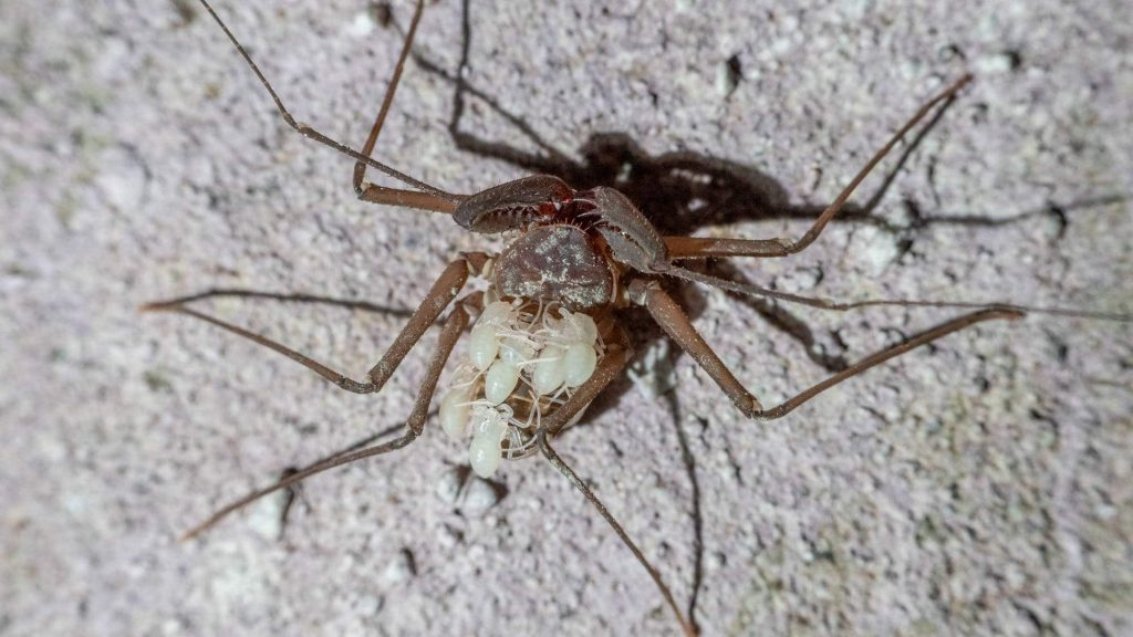"""As far as the researchers could tell, the entire population found in the Trieste tunnels was female. But eventually, greenish babies appeared on an adult's back, the little antenna-legs crisscrossing, arachnologist Gustavo de Miranda said, """"like a noodle soup."""""""