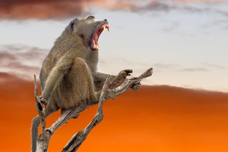Baboons make sounds, but how does it relate to human speech?