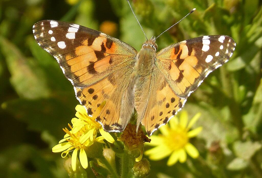 Painted lady butterfly in the village of Bolonia in southern Spain