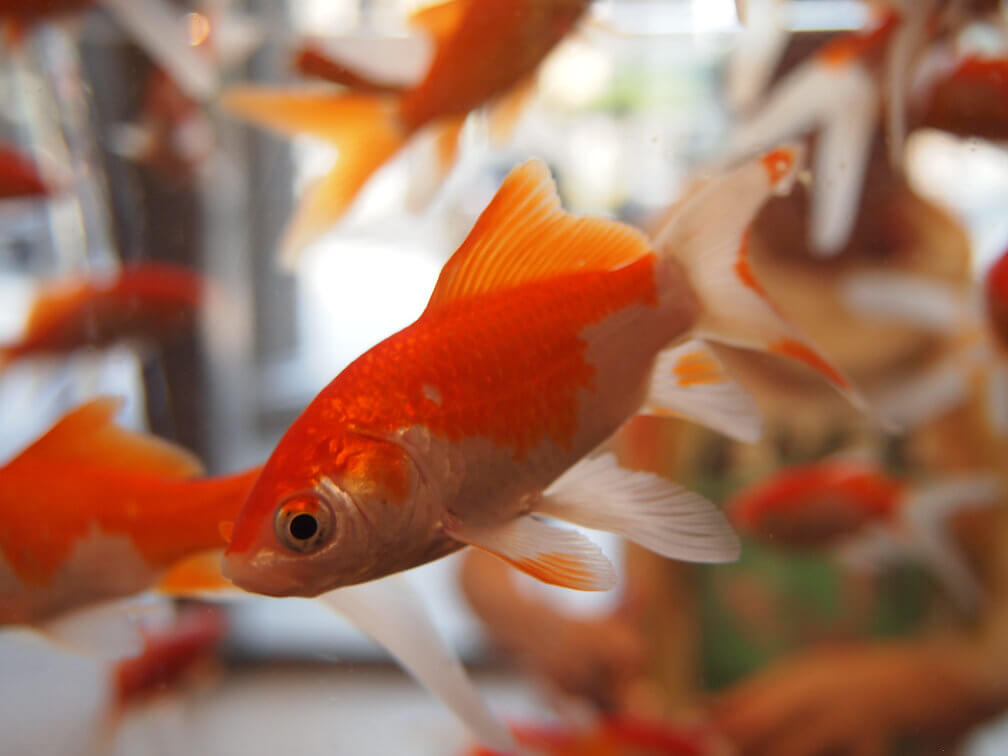 The kind of goldfish used in the experiment